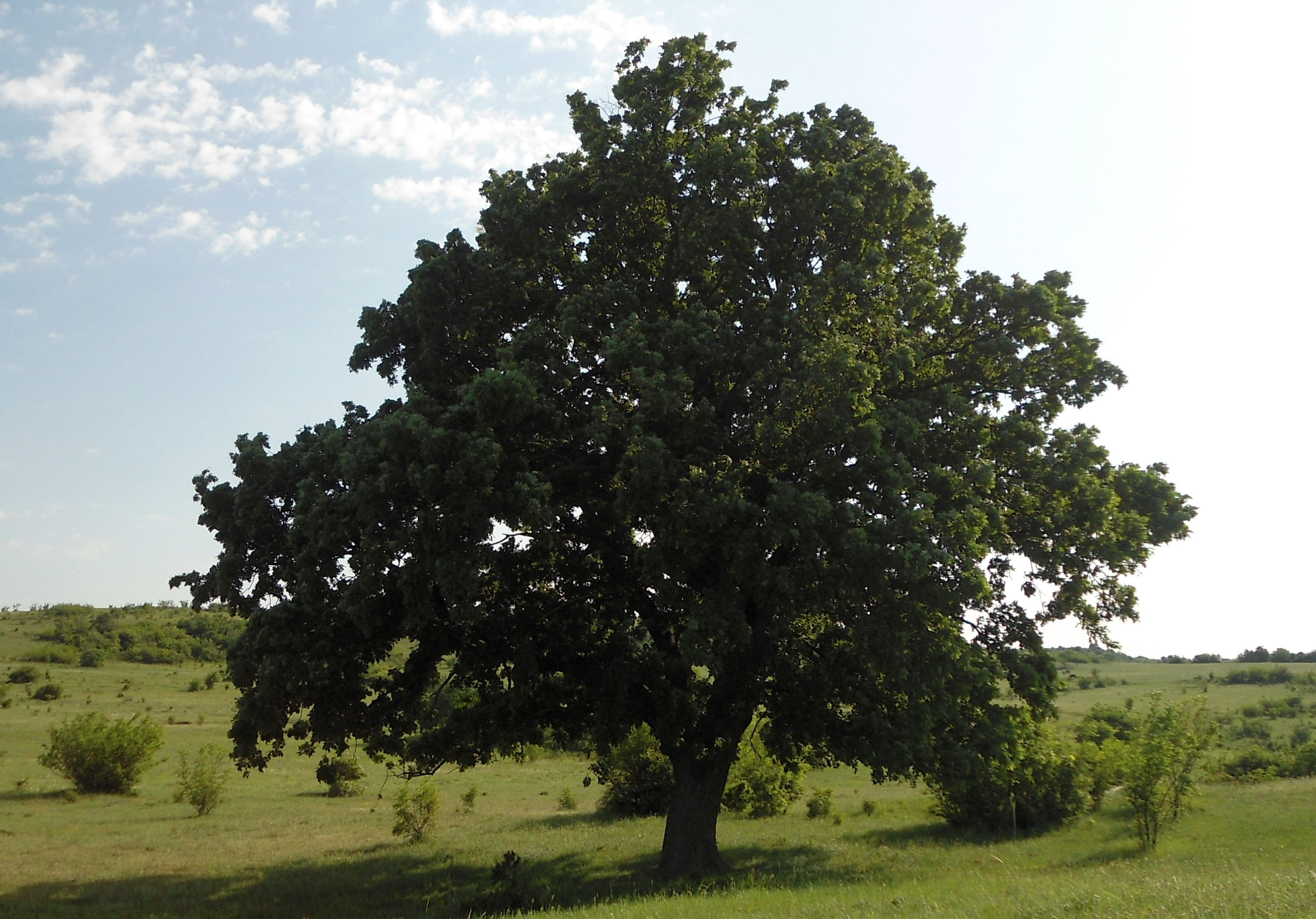 Micoza la stejar