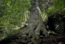 Foto: Paul Bordaș/treeoftheyear.org
