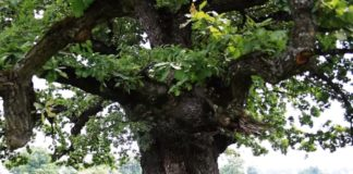 Cel mai bătrân copac din România FOTO: Captură Youtube