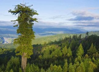 Hyperion, cel mai inalt copac